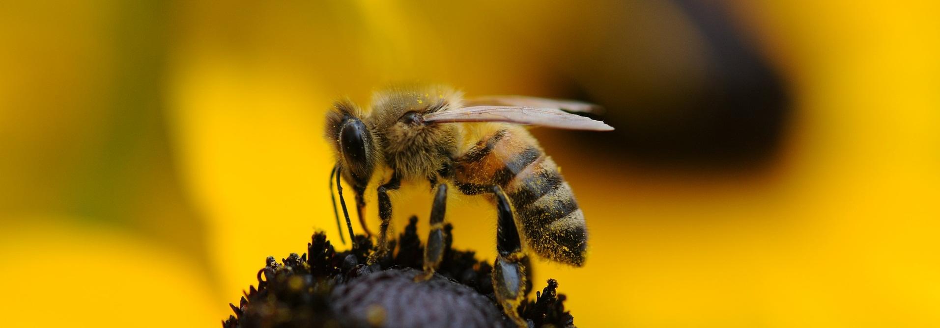 Biene_auf_blüte_zugeschnitten