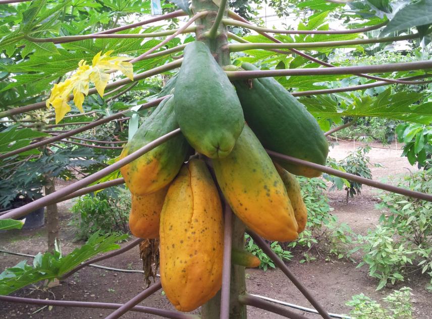 Papayas Tropenhaus Klein Eden